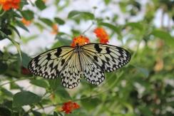 lesbellesfolies_papillon_blanc